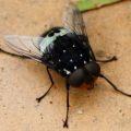 bristle_fly_australia_linda