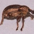broadnosed_weevil_stacy