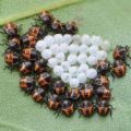 brown_marmorated_stink_bug_hatchlings_lois
