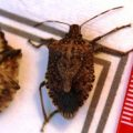 brown_marmorated_stink_bugs_bob