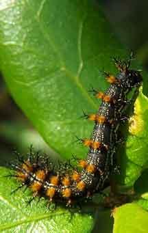Buck Moth Caterpillar What S That Bug