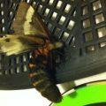 buck_moth_jenn