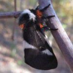buck_moth_jessie