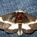 buck_moth_louisiana