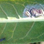 bug_milkweed_anna