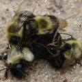 bumble_bee_mating_frenzy_joseph