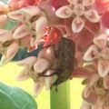 bumble_flower_beetle_renee