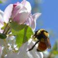 bumblebee_jessica
