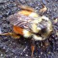 bumblebee_kyunghwa_2