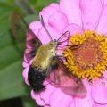 bumblebee_moth_ferd
