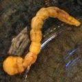 buprestidae_larva_texas