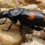 burying_beetle_dakota