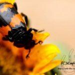 burying_beetle_kayla
