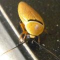 bush_cockroach_australia_chris