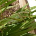 bush_katydid_jeff