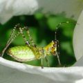 bush_katydid_nymph_phil