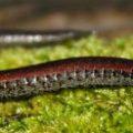 ca_salamander