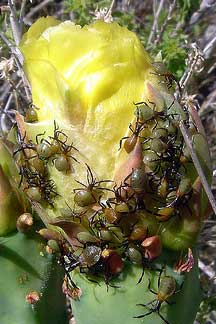 Cactus Joint Bugs What S That Bug