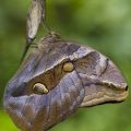 caligo_costa_rica