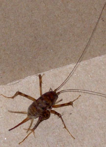 Camel Cricket  What's That Bug?. How Do I Clean Stainless Steel Appliances In The Kitchen. Kitchen Island Cart Granite Top. Cheap Floor Tiles Kitchen. Outlet Kitchen Appliances. Country Kitchen Floor Tiles. Kitchen Light Fixtures Canada. Kitchen Island For Sale. Trade In Kitchen Appliances