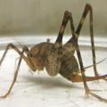 camel_cricket_heather