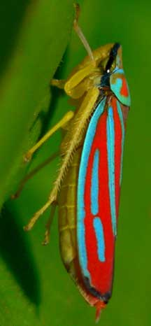 Candystriped Leafhopper What S That Bug