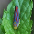 candystriped_leafhopper_katy