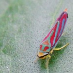 candystriped_leafhopper_liss