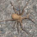 cane_spider_hawaii_kat