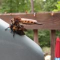 cannibal_fly_eats_carpenter_bee_ga_2