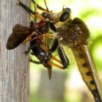 cannibalfly_eats_wasp_deb