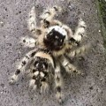 canopy_jumping_spider_mpl