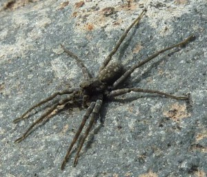 thin legged wolf spider what 39 s that bug. Black Bedroom Furniture Sets. Home Design Ideas