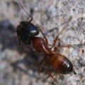 carpenter_ant_pat