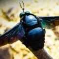 carpenter_bee_borneo