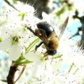 carpenter_bee_daryll