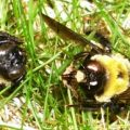 carpenter_bees_dead_sara