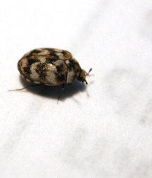 Anthrenus carpet beetles what 39 s that bug for Bete qui mange le bois