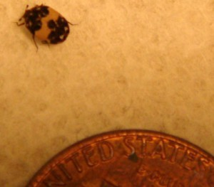 Carpet Beetle What S That Bug