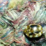 carpet_beetle_canada_jennifer