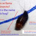 carpet_beetle_larva_argentina_pablo