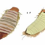 carpet_beetle_larva_drawing_nick