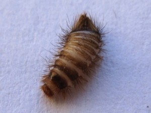 Carpet Beetle Larva Can It Be Related To Asthma Flare
