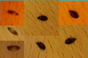 Carpet Beetle Larvae What S That Bug