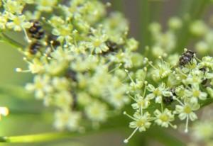 Varied Carpet Beetles On Parsley What S That Bug