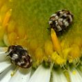 carpet_beetles_tina