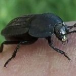 carrion_beetle_idaho