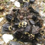 carrion_beetles_eat_toad_dakota