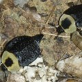 carrion_beetles_nc