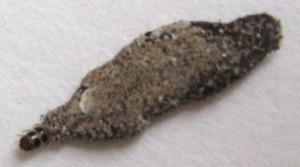 Case Bearing Moth Larva What S That Bug